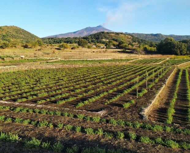 Campo d'aromi. Ai piedi dell'Etna ha sede l'Azienda agricola Due Palmenti