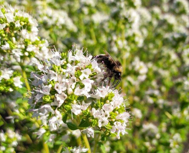 Insetti su origano. Le erbe aromatiche in fioritura attirano moltissimi impollinatori ed insetti utili