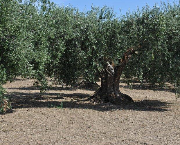 Ulivo Secolare. Uno dei nostri alberi secolari di peranzana