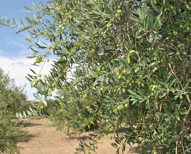 Olive di Peranzana. Olive di Peranzana