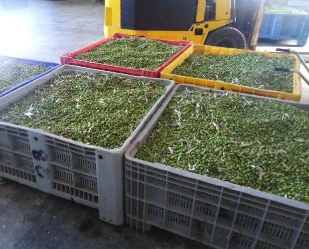 olive frantoio.