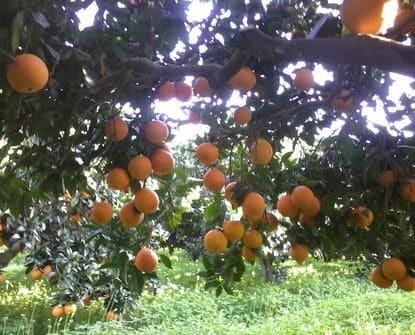 Coltivazione diretta. Agrumi di Sicilia