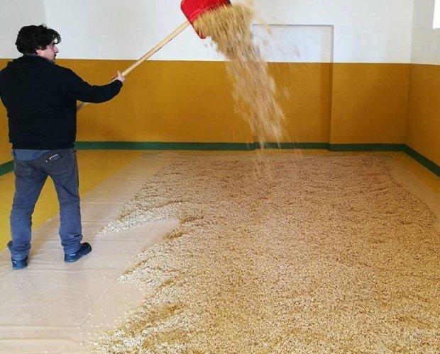 Orzo a germogliare. Metodo floor malted, l'orzo bagnato viene girato a mano 5 volte al giorno.