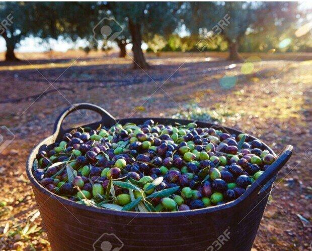 Raccolto fresco. Il nostro olio proviene esclusivamente da agricoltura bio, e da frutti freschissimi