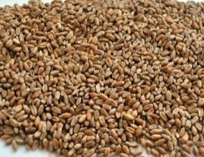 Cereali. Frumento, avena, orzo e molto altro