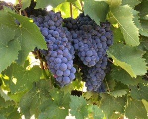 IMG_7436. La nostra uva rossa