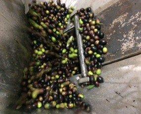 IMG_6582. Lavorazione dell'oliva per diventare olio