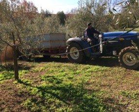 IMG_7433. Raccolta olive