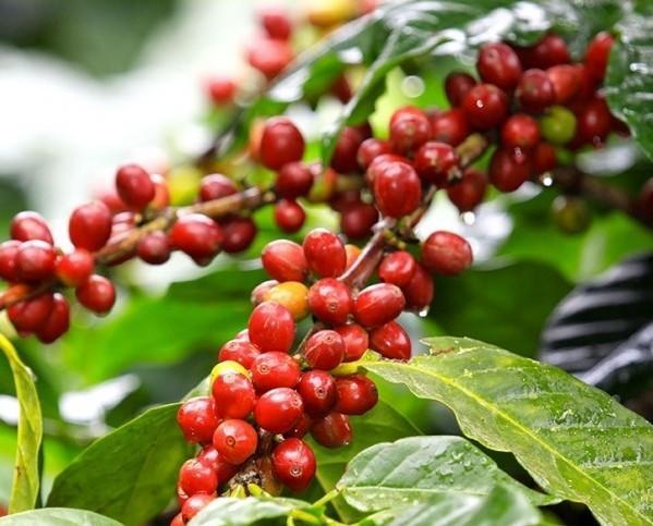 Caffè Biologico.Le pianta del caffè