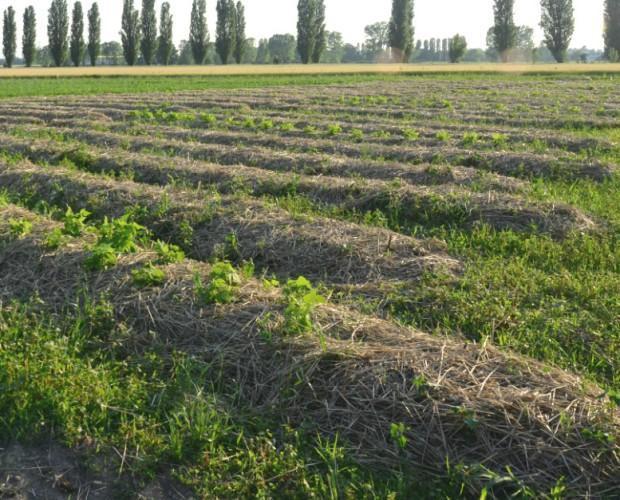 La coltivazione. Pacciamatura con paglia: - acqua, + sost.organica