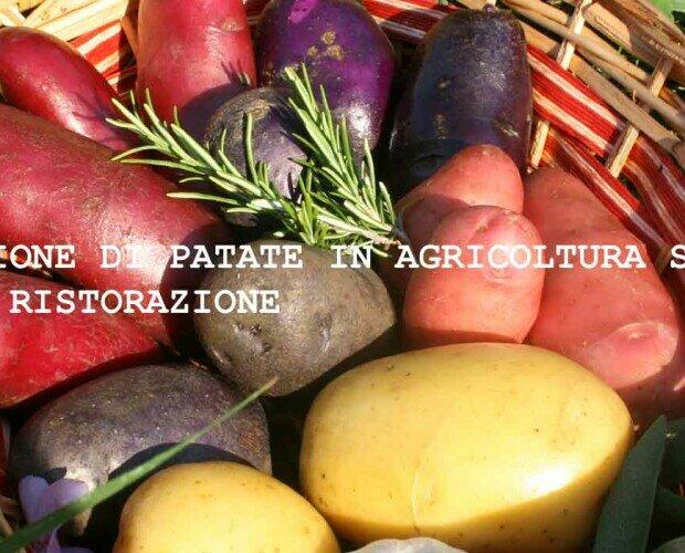 Patate. Patate in agricoltura sostenibile certificate CSQA