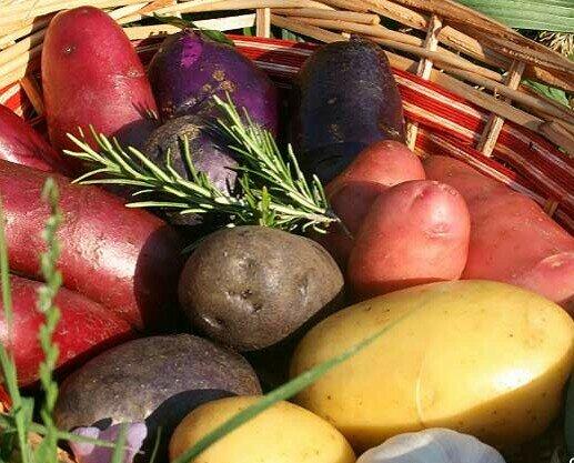Varietà di patate. Produzione patate in agricoltura sostenibile