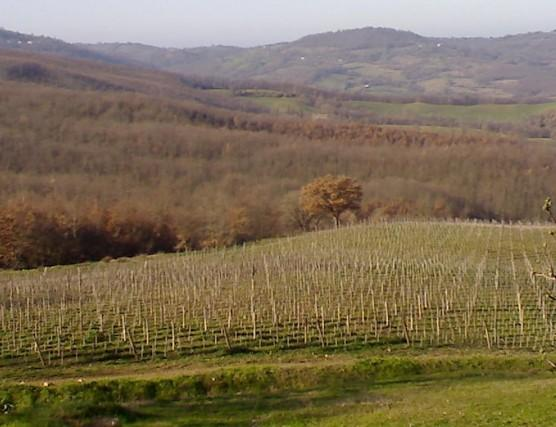 Vigneti. Syrah, Grenache, Sauvignon, Semillon,Pinot nero,Sangiovese